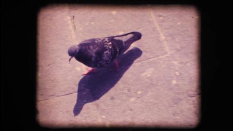 Vintage 8mm. Pigeon walking Stock Video Footage