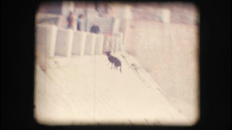 Vintage 8mm. Dog running towards his master Stock Video Footage