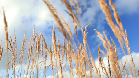 Yellow grass ears over the blue sky Footage