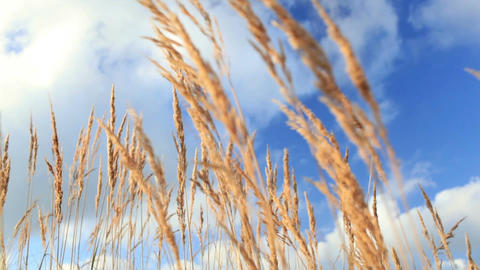 Yellow grass ears over the blue sky Stock Video Footage