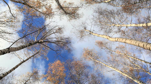 Looking up in a birch trees. Time lapse. Beautiful nature background with running clouds. Low angle Footage