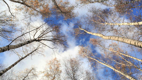 Looking up in a birch trees. Time lapse. Beautiful nature... Stock Video Footage