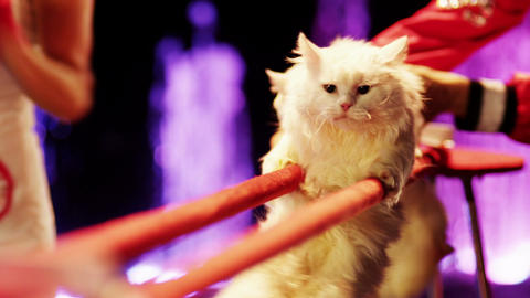 Two white cats are making stunts in the circus Stock Video Footage