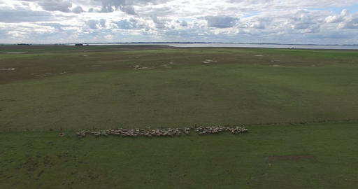 Aerial drone scene of sheep herd running through the countryside. Sheep separate Footage