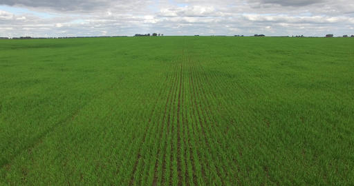 Aerial drone scene of monoculture crops in the countryside. Camera moves lateral Footage