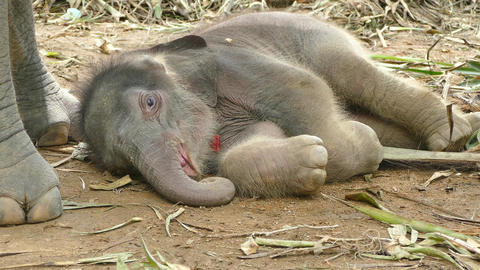 baby elephant Footage