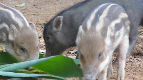 wild boar piglets Footage