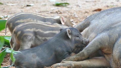 wild boar piglets Live Action