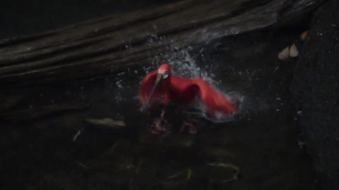 Scarlet Ibis also called Eudocimus ruber , high speed, slow motion Footage