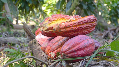 Red Ripe Cacao Fruits Pilled up on the ground at a Farm converted Live Action