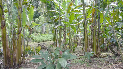 Young Cacao Plant growing among other trees - Pan - Left to Right converted Live Action