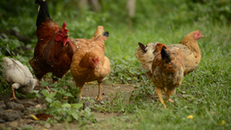 Flock of chickens grazing on the farm - Camera panning Footage