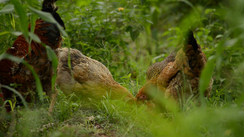 Flock of chickens grazing on the farm Footage