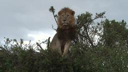 A Big Lion Sitting On A Bush stock footage
