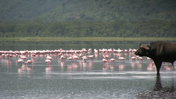 A bufallo in a lake with flamingos in the background Filmmaterial