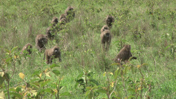 A family of baboons moving to a new place Footage