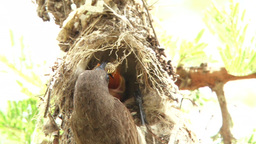 A female scarlet chested sunbird feeding a baby Footage