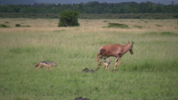 A juvenile antelope fights two jackals trying to hunt it Footage
