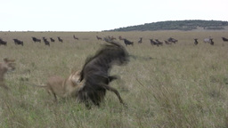 A lion hunts down a wildebeest sucessfully Footage