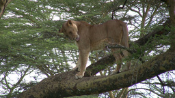 A lioness yawns while standing on a tree Footage