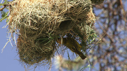 A male weaver actually building a nest Footage