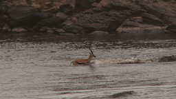 A thompson gazelle tries to cross mara river but is cought midstream Footage