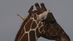 A tickbird standing on the horn of a giraffe Footage