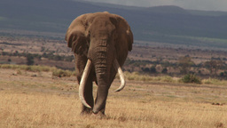A very big bull elephant in Amboseli park Footage
