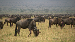A very large group of migrating wildebeests Footage