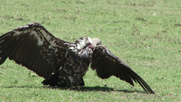 A vulture drying himself after washing Footage