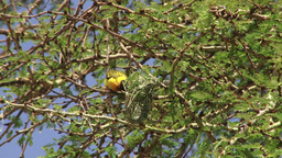A weaver destroys a nest belonging to another male Footage