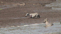 A Wounded Zebra Gets Stuck In Muddy River stock footage