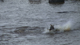A young zebra escapes narrowly beeing eaten by a crocodile while crossing mara r Footage