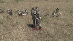 A zebra guards her dead baby against vultures Footage
