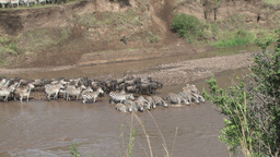 A zoom out of wildebeests and zebras waiting to cross the river Footage