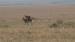 African antelopes mating Footage