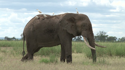 An elephant with cattle egrets on his back Footage
