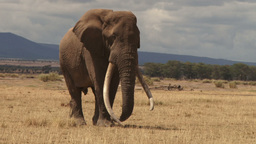 An elephant with very long tusks Footage