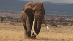 An old bull elephant walking towards camera Footage