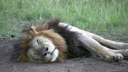 An old lion with black manes sleeping Footage