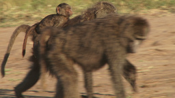 Baboon with a baby on her back Footage