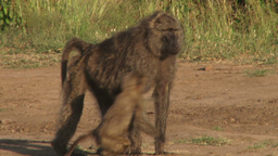 Baby baboon jumps off the back of the mother Footage