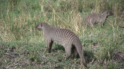 Banded mongoose Footage