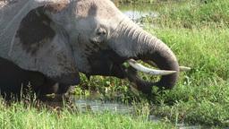 Close up of elephant feeding Footage