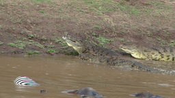 Crocodiles resting while dead bodies of wildebeests and zebras float by Footage