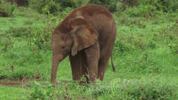 Elephant baby trying to use his trunk Footage