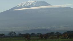 Elephants resting under the shade of kilimanjaro Footage