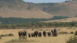Elephants walking through the plains of mara Footage