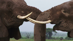 Extreme close up of an elephant playing with their tusks Footage