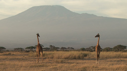 Giraffes under the tallest mountain in africa, kilimanjaro Footage